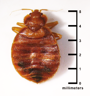 Introduction to Bed Bugs