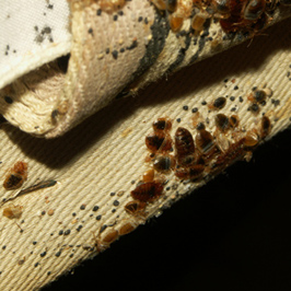 Canvas strap of old box spring covering that is housing adults, skin castings, feces, and eggs. (Photo courtesy of Dr. Louis Sorkin)